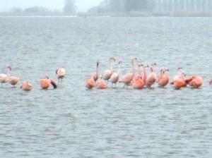 Flamingo's in het Veluwemeer bij Elburg